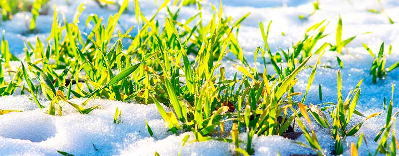 The type of grass determines when it stops growing